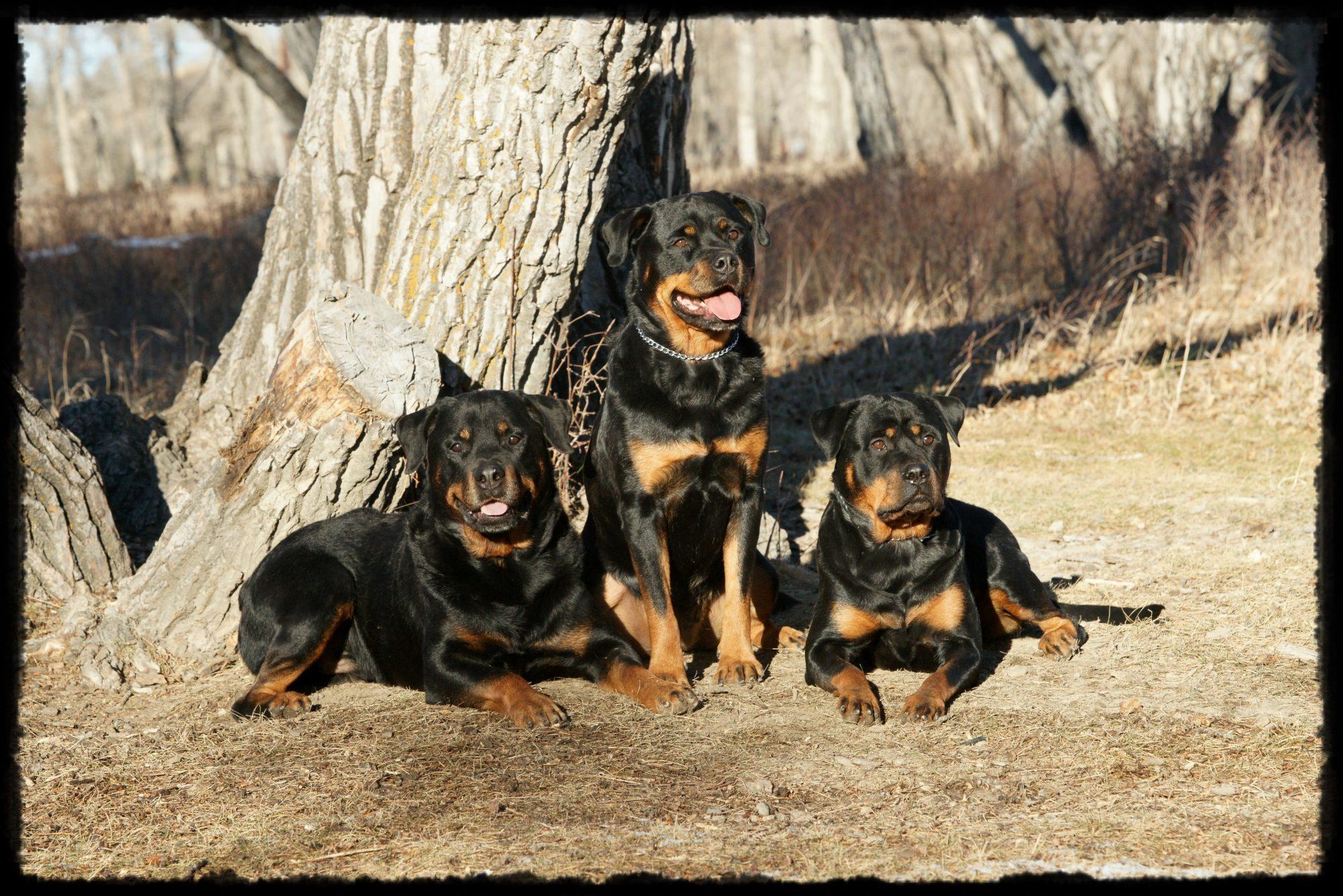 Akamai Perm. Registered Rottweilers